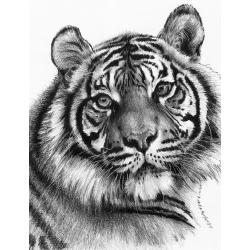 Schita creion incepatori Cap tigru - importator